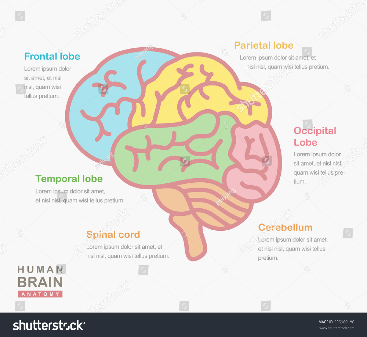 Medical Illustration Showing Structure Human Brain Stock Vector