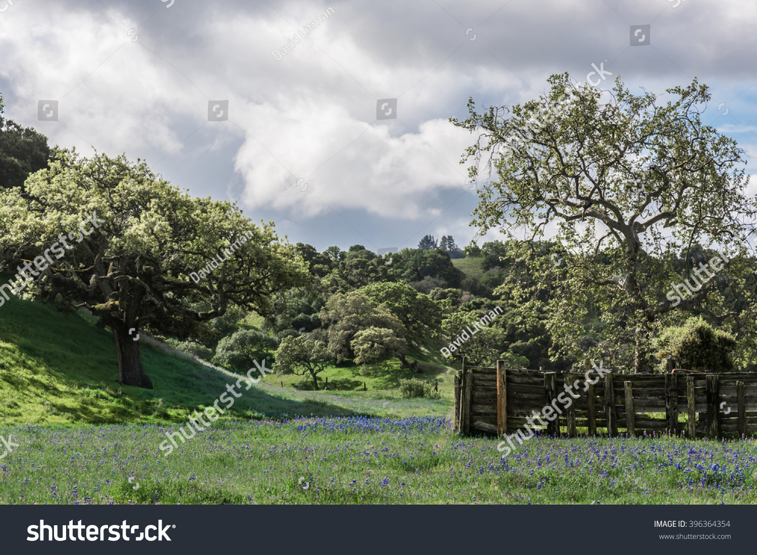 A meadow of blue Lupine wildflowers (Lupinus arboreus) on a rustic ranch with oak covered foothills on a spring day off of scenic Highway 68 between Salinas and Monterey in central California.