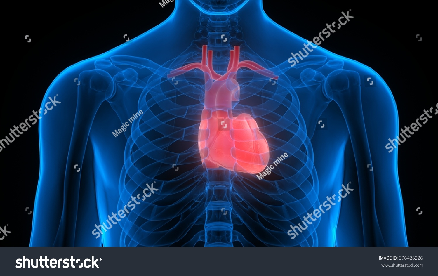 Human Body Organs Heart Stock Illustration Royalty Free Stock
