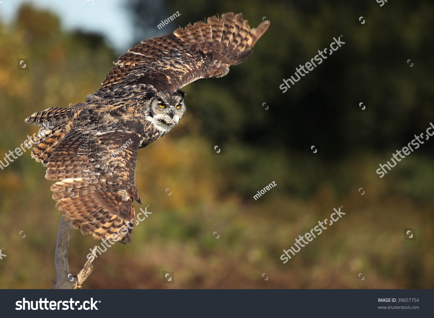Great horned owl taking off - photo#4