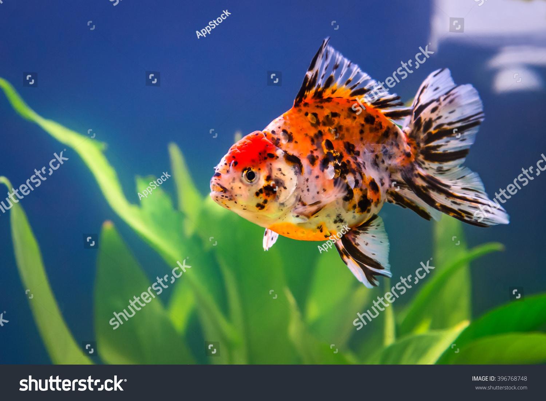 Five Colored Goldfish Fish Tank Stock Photo (Royalty Free) 396768748 ...
