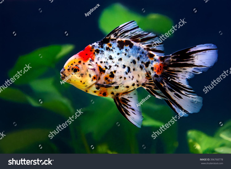 Five Colored Goldfish Fish Tank Stock Photo (Royalty Free) 396768778 ...