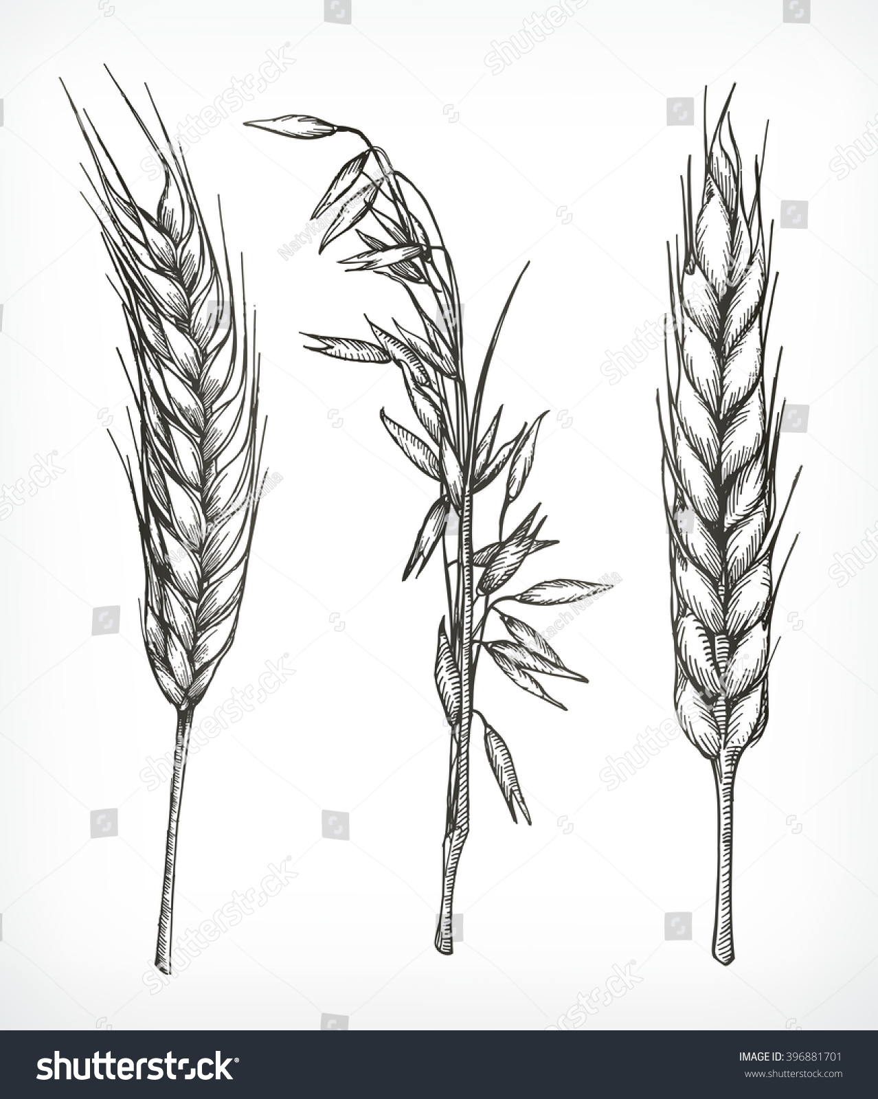Crops Wheat Oat Sketches Hand Drawing Stock Vector Royalty Free