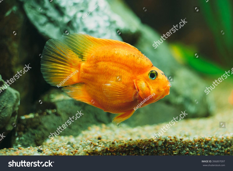 Freshwater aquarium fish cichlids - Aquarium Fish Red Parrot Cichlid