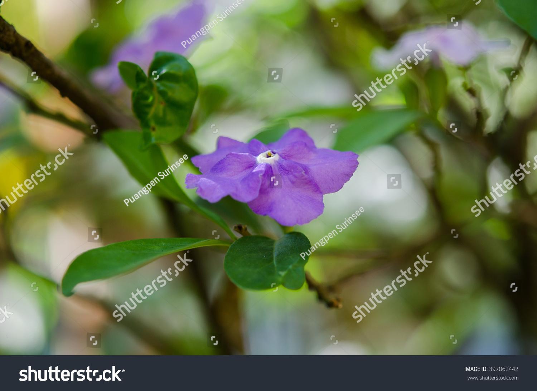 Purple jasmine ez canvas id 397062442 izmirmasajfo