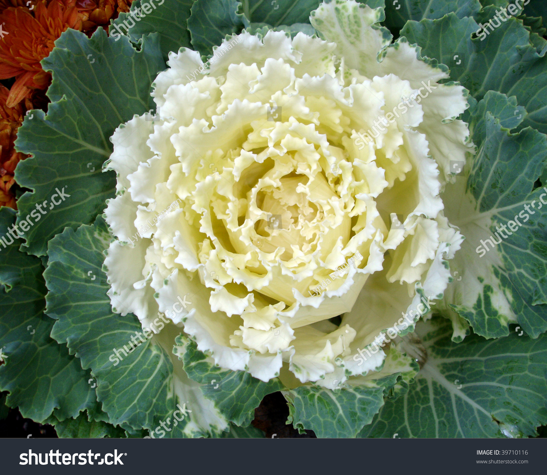 White Ornamental Kale Stock Photo Royalty Free 39710116 Shutterstock