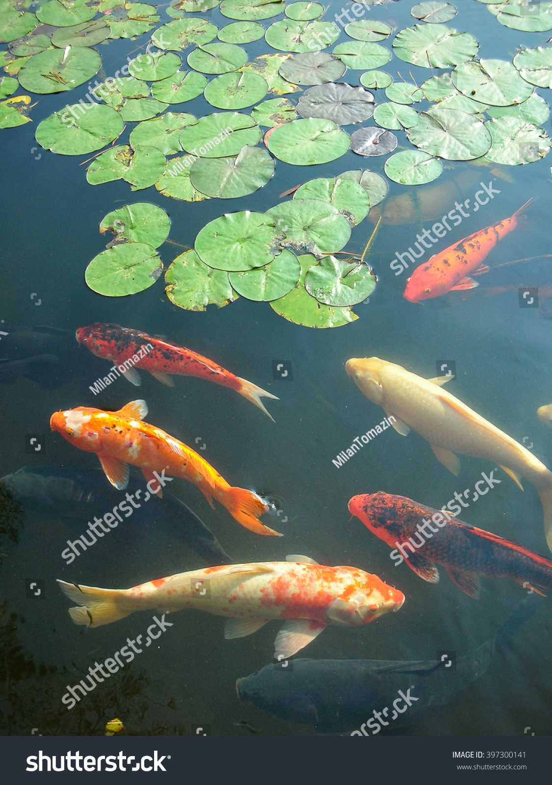 Vertical image koi goldfish swimming garden stock photo for Koi swimming pool