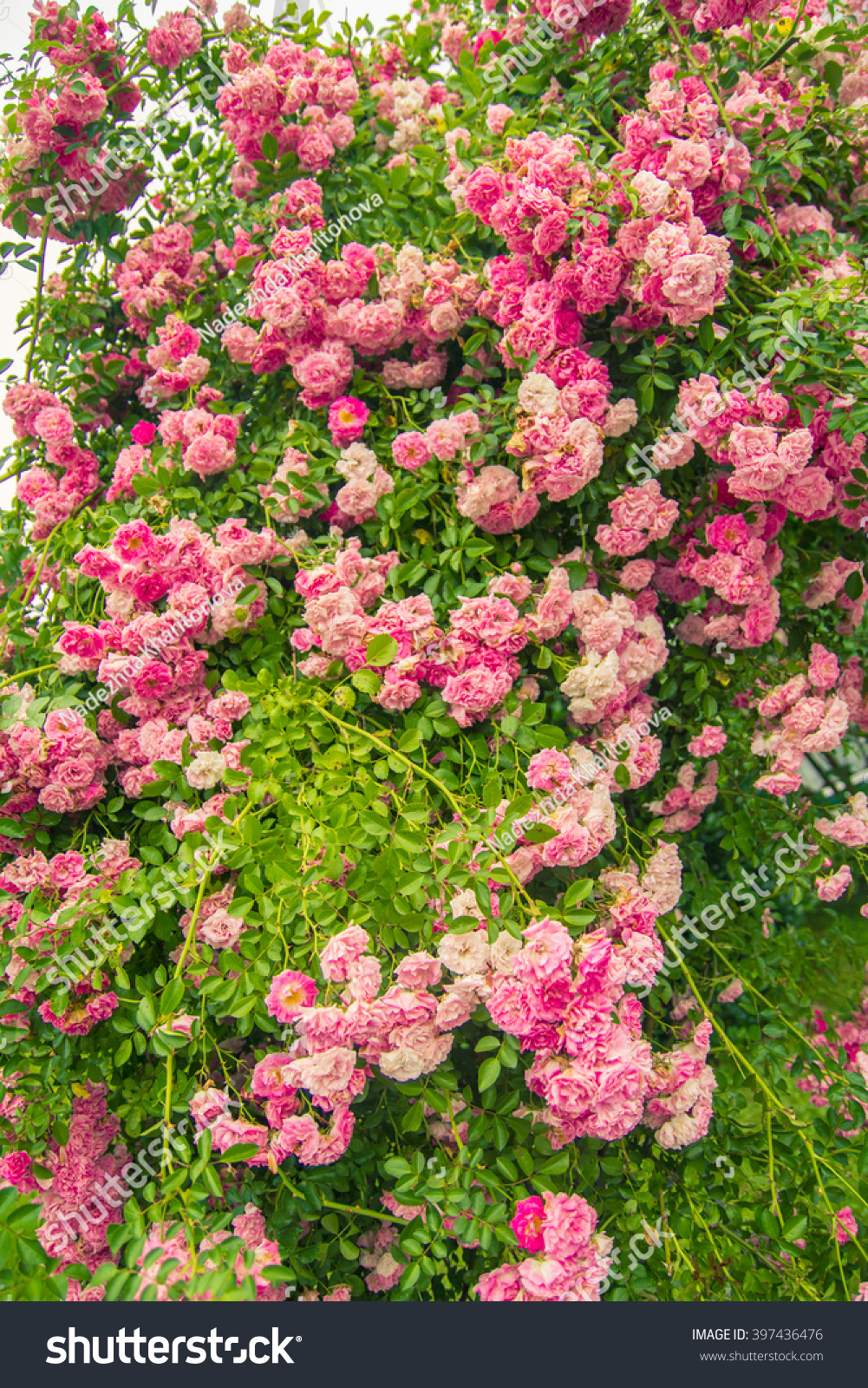 Royalty Free Lovely Pink Climbing Roses Ornamental 397436476