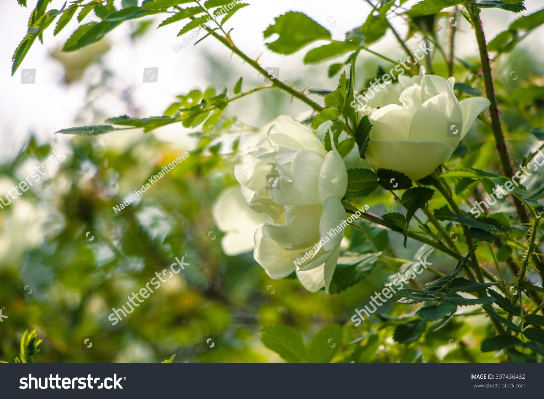Lovely White Bush Roses Ornamental White Stock Photo Edit Now