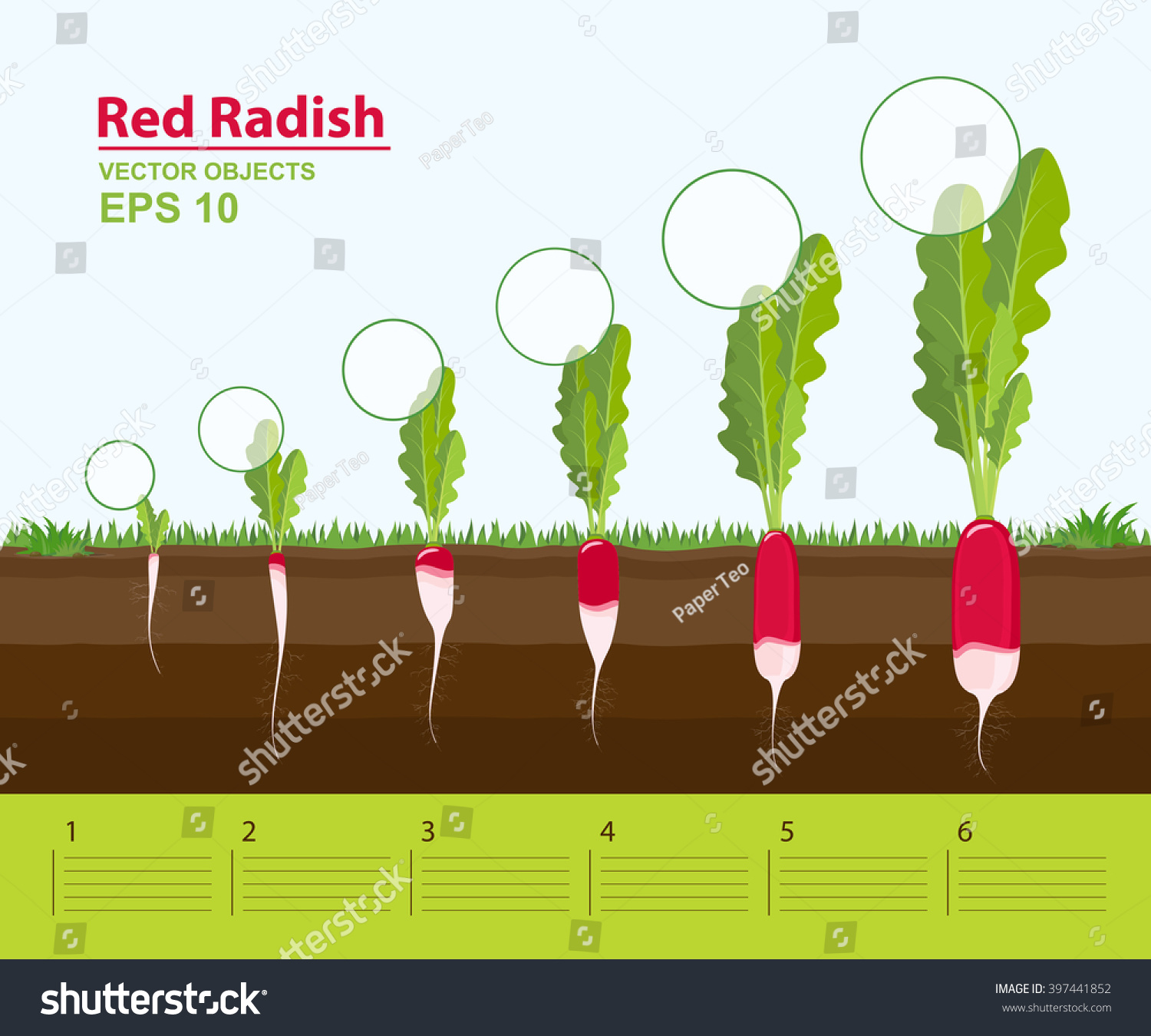 Stock Vector Vector Illustration Phases And Stage Of Growth Development And Productivity Of A Red Radish In on Plant Growing Cycle
