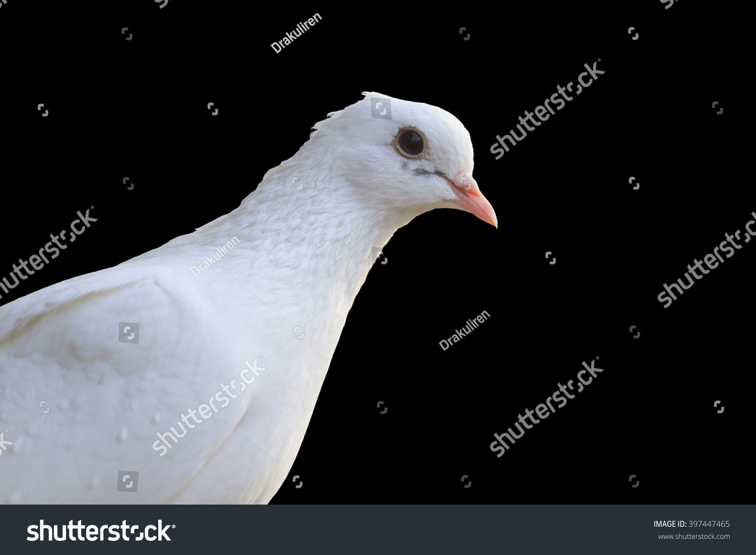 White Homing Pigeon Portrait Isolated On Black And Hotspot A Bird