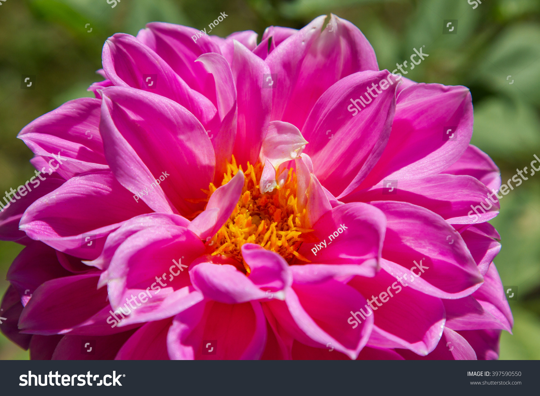 Pink Dahlia Flower In The Garden Ez Canvas