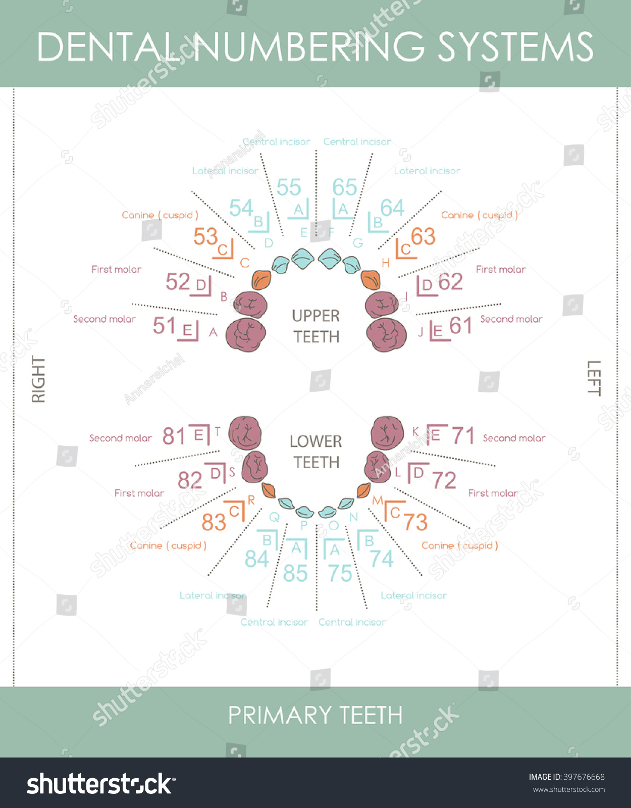 Human Primary Teeth Numbering Systems Infographic Stock Vector ...