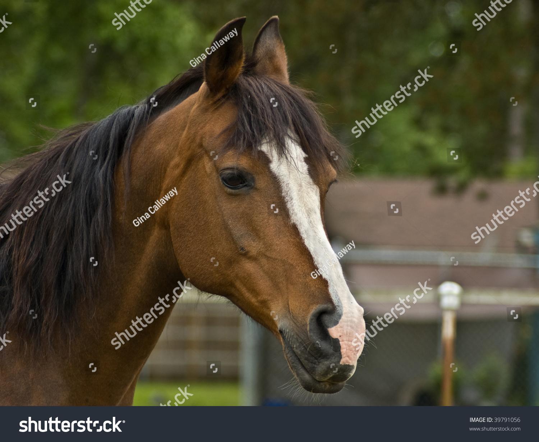Brown Bay Quarter Horse Mare Close Stock Photo 39791056