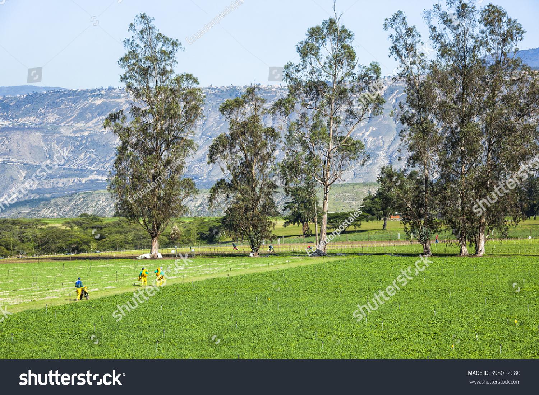 Calla Lily Plantation Guayllabambas Farm Stock Photo (Edit ...