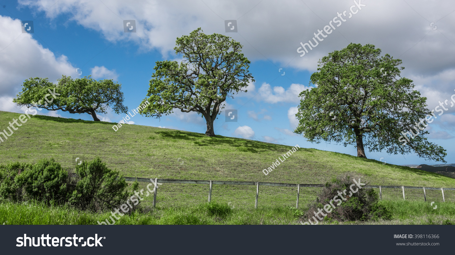 Three coastal live oak trees (Quercus agrifolia) on a grassy hilltop with clouds and blue sky in the hills of Monterey, California, USA