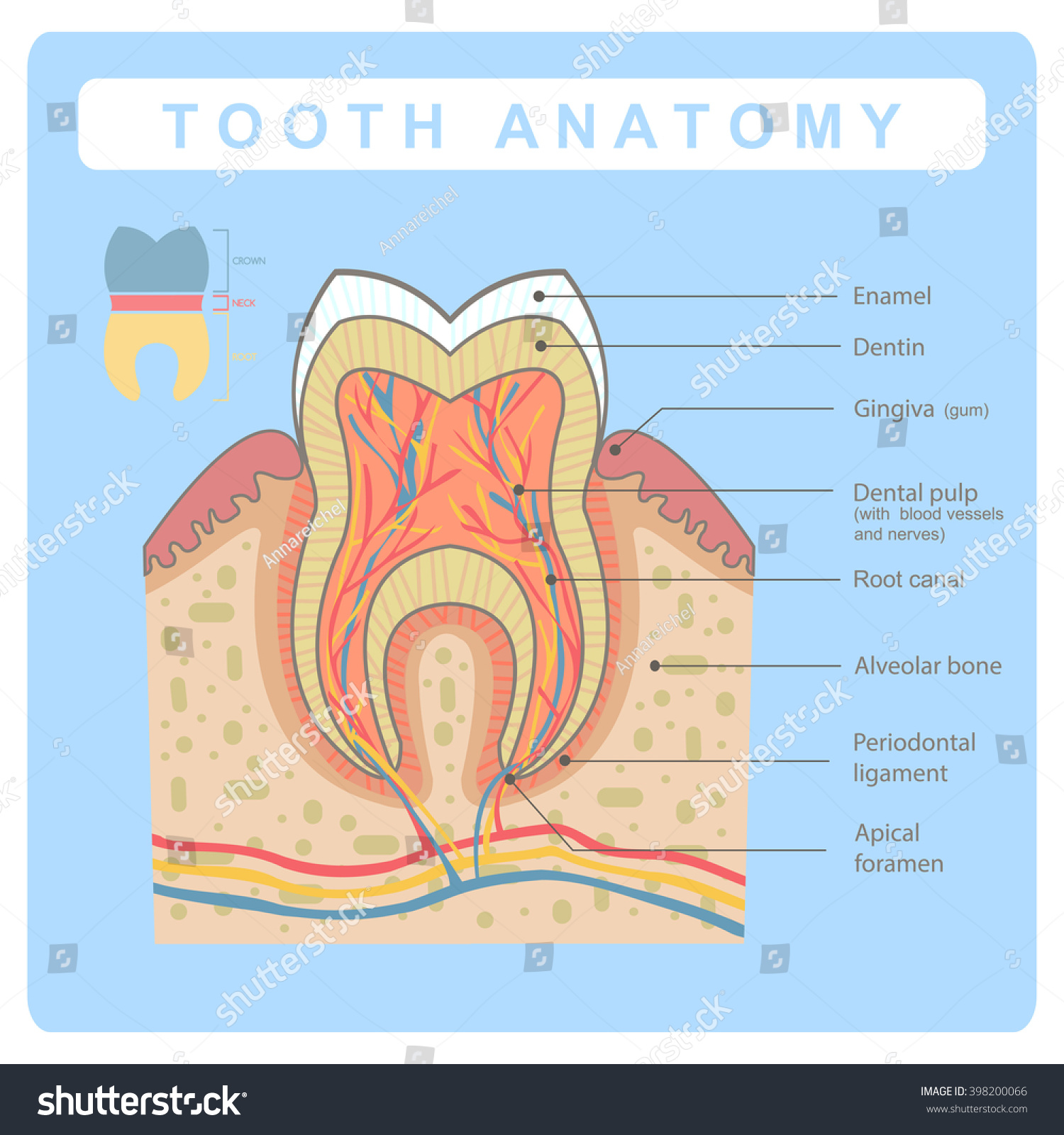 Human Tooth Molar Anatomy Infographic All Stock Photo Photo Vector