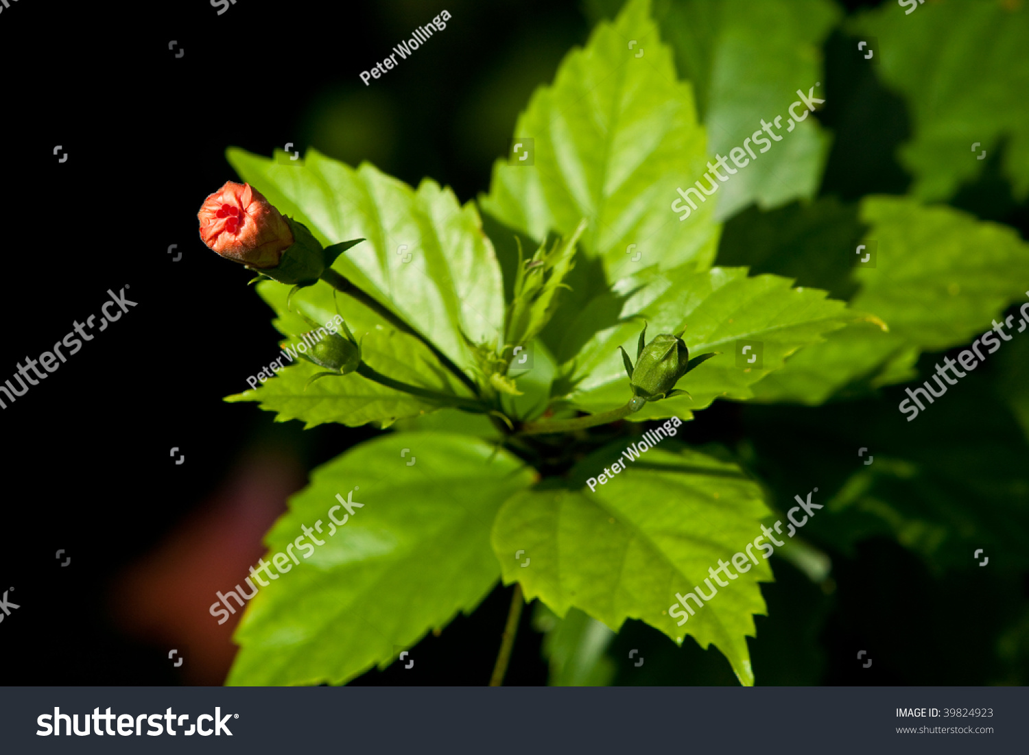 Beautiful Colorful Tropical Hibiscus Flower Bud Stock Photo Royalty