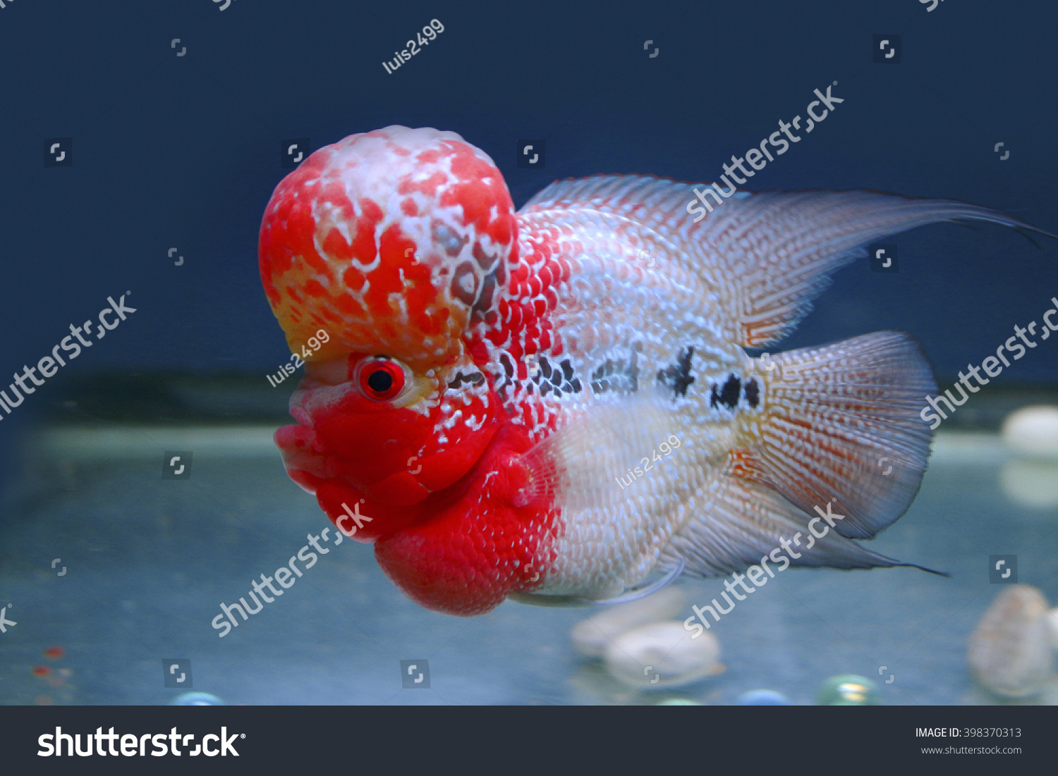 Short Body Flowerhorn Fish Stock Photo (Royalty Free) 398370313 ...