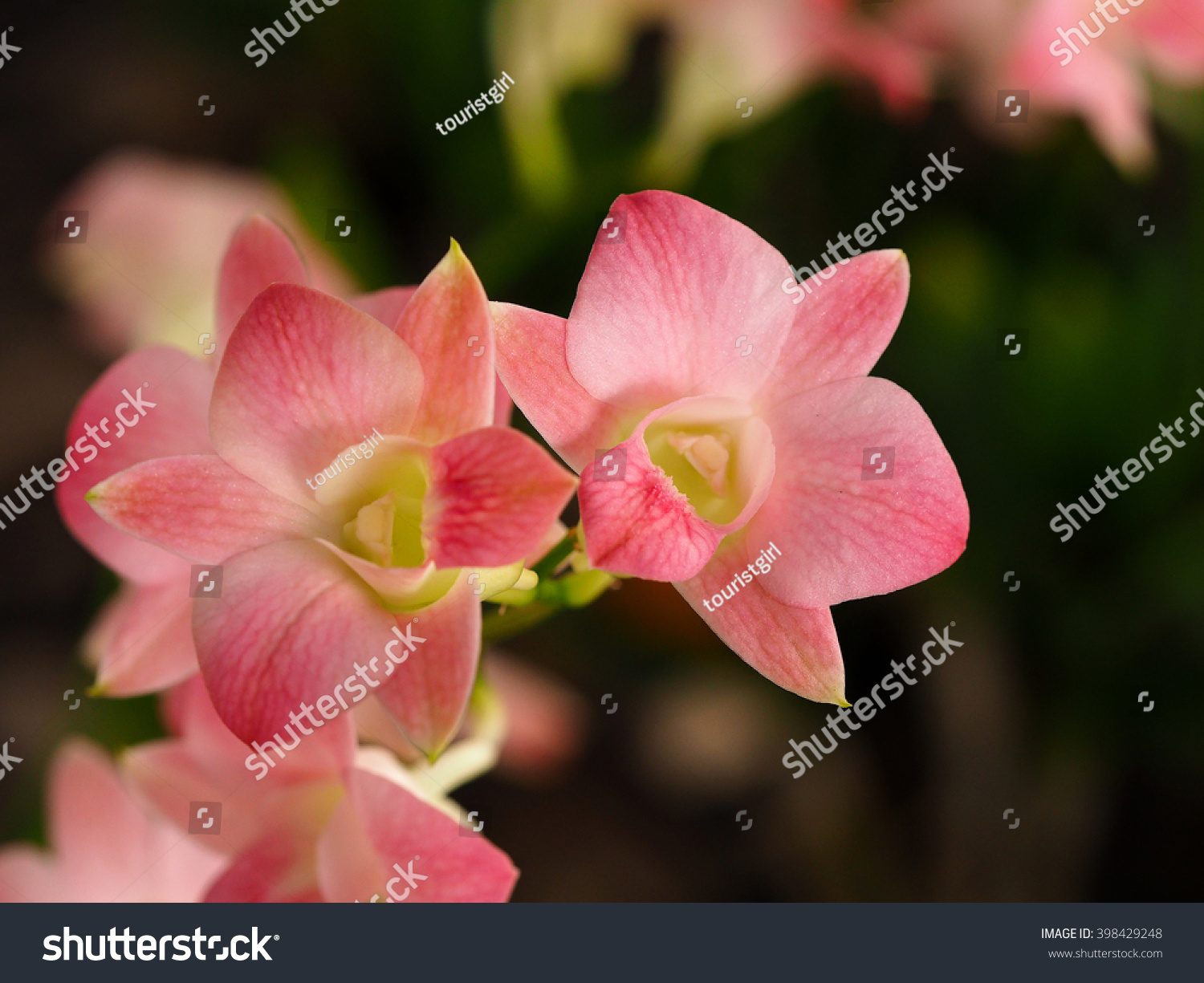Beautiful Coral Dendrobium Orchids Flower Name Stock Photo Edit Now