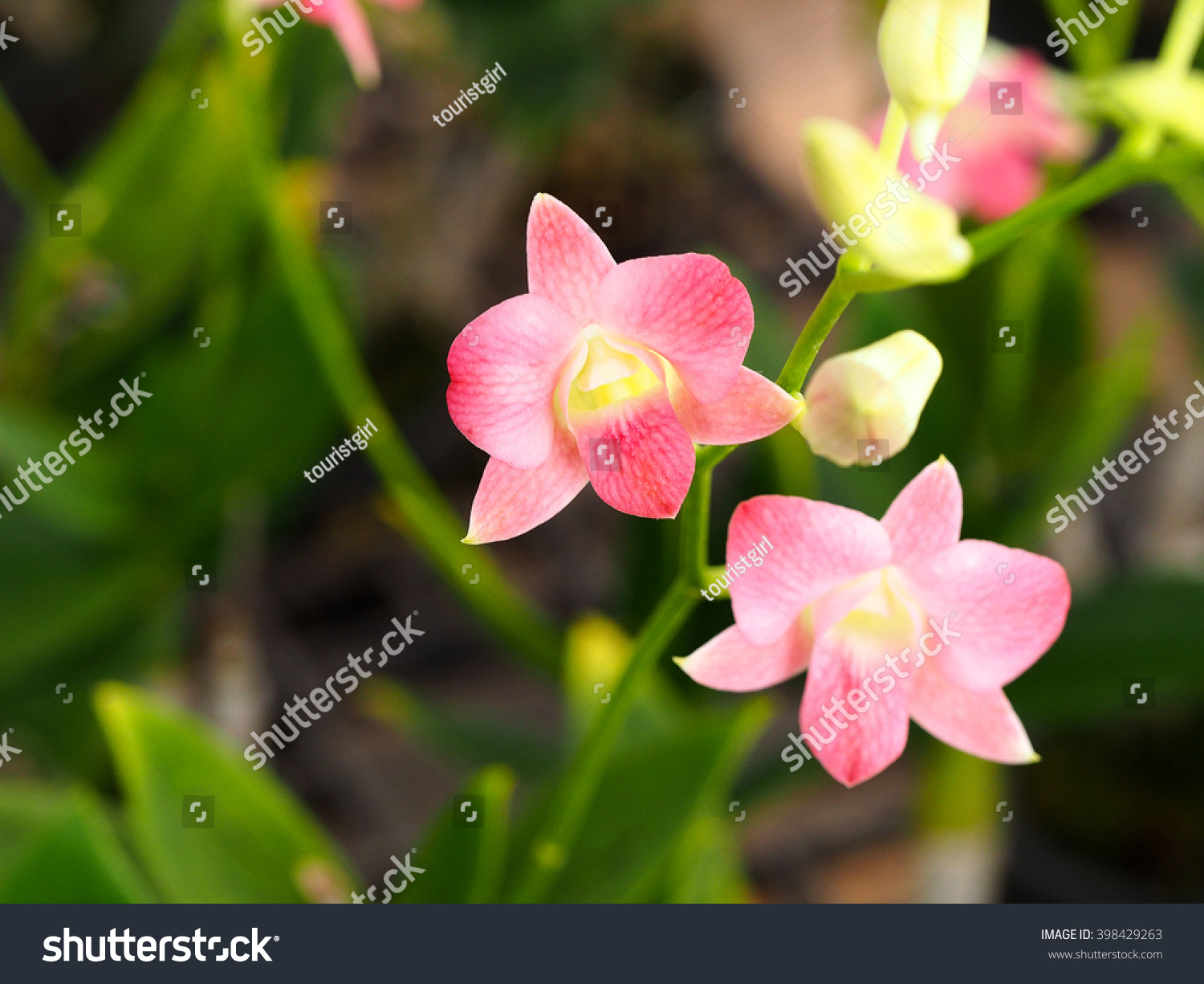 Beautiful Coral Dendrobium Orchid Flower Name Stock Photo Edit Now