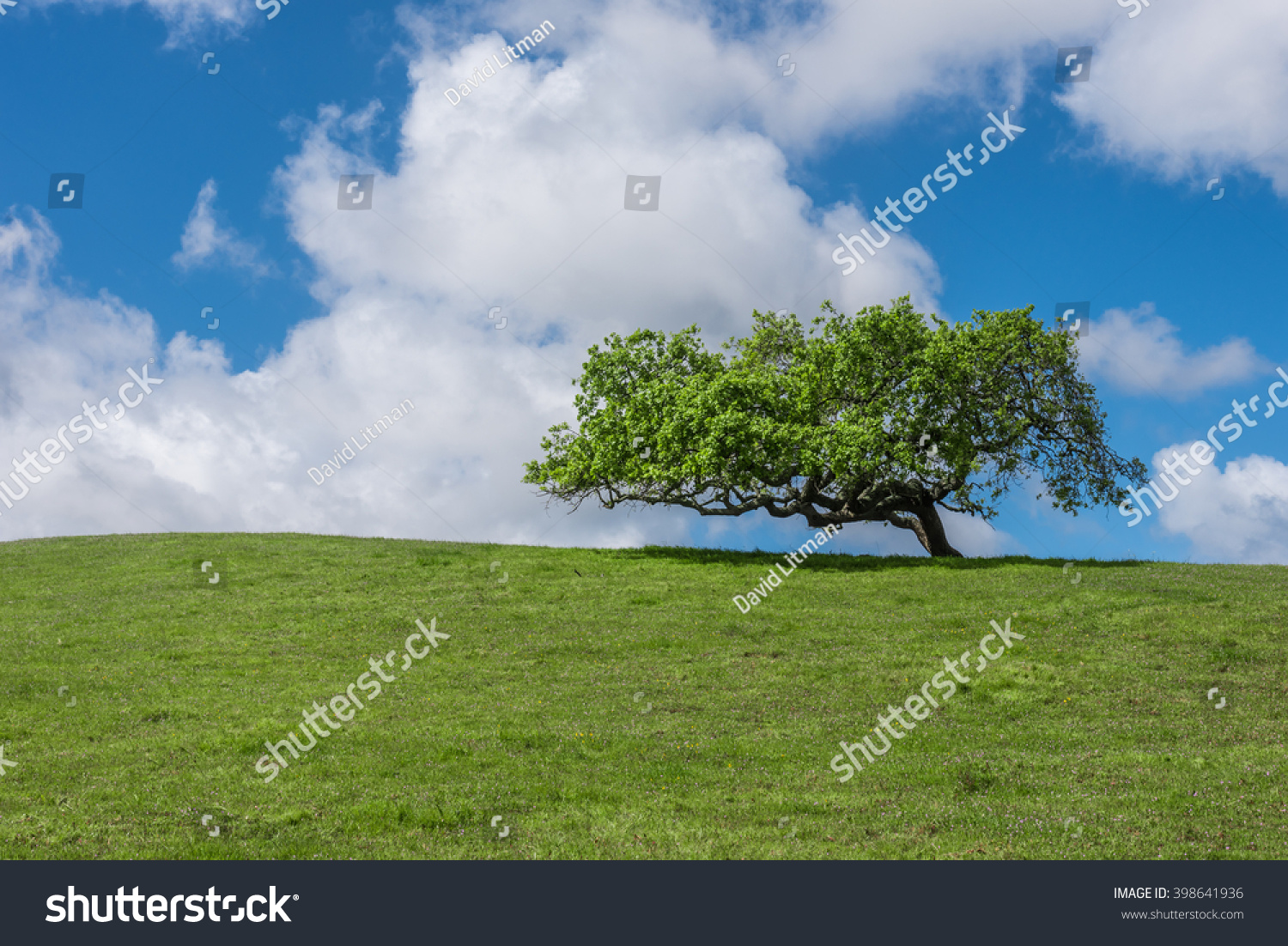 A lone coastal live oak tree (Quercus agrifolia) on a grassy hilltop with clouds and blue sky overhead, in the hills of Monterey, California, USA