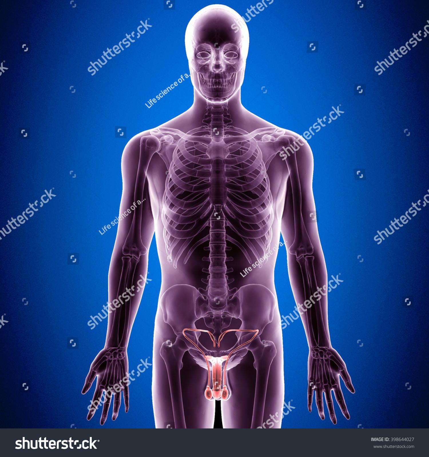 3 D Illustration Male Reproductive System Stock Illustration