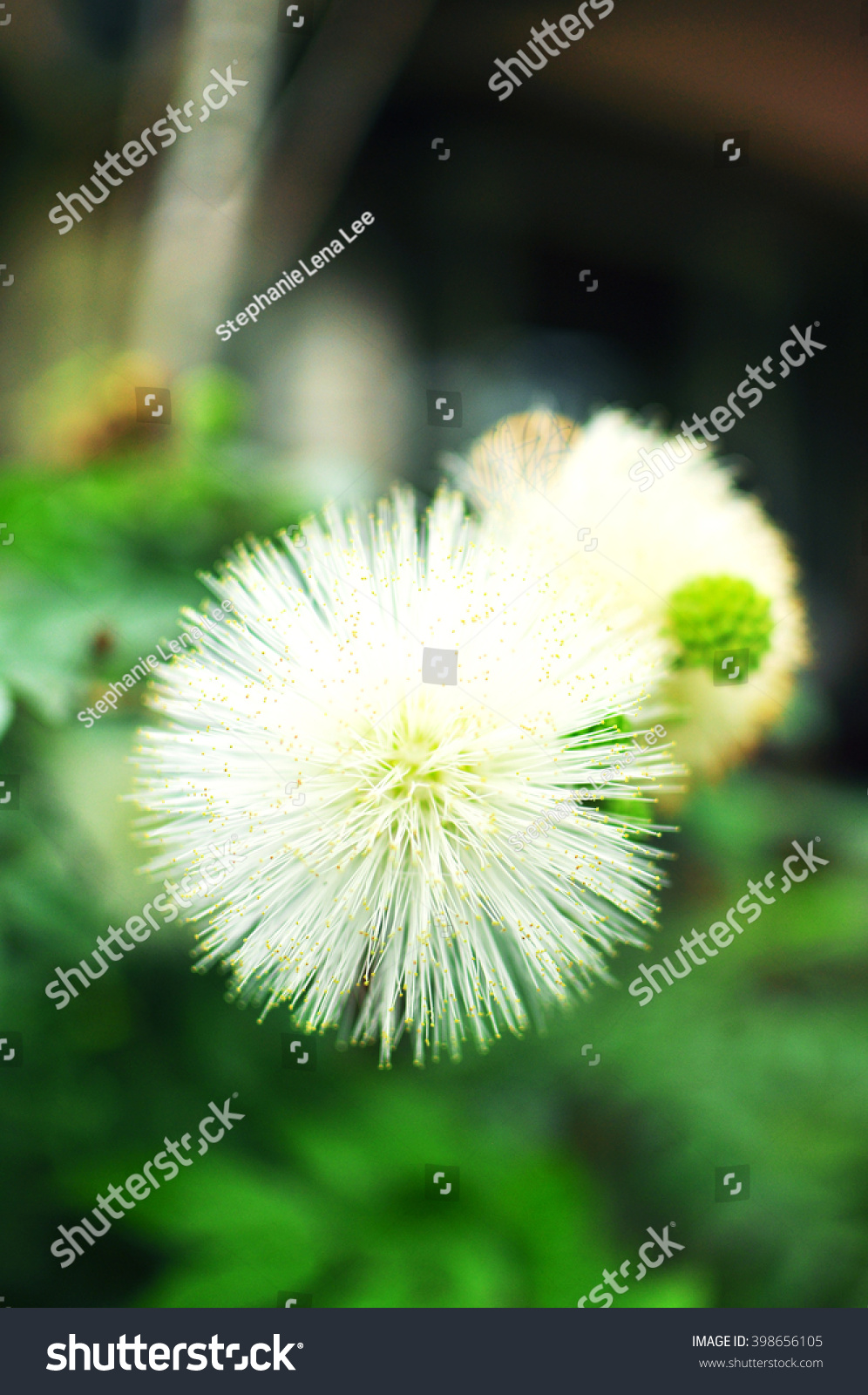 White Puffy Flowers Blooming Stock Photo Edit Now 398656105