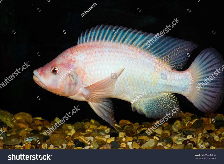 Red tilapia fish thailand stock photo 398738098 for Tilapia aquarium