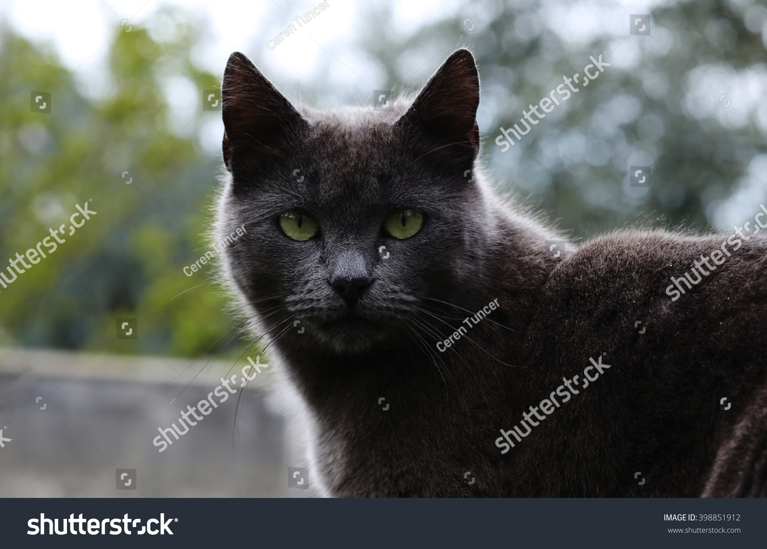 Russian Blue Grey Cat Has Portrait Stock