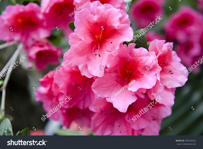 Pink Azalea Flowers Stock Photo Royalty Free 399336562 Shutterstock
