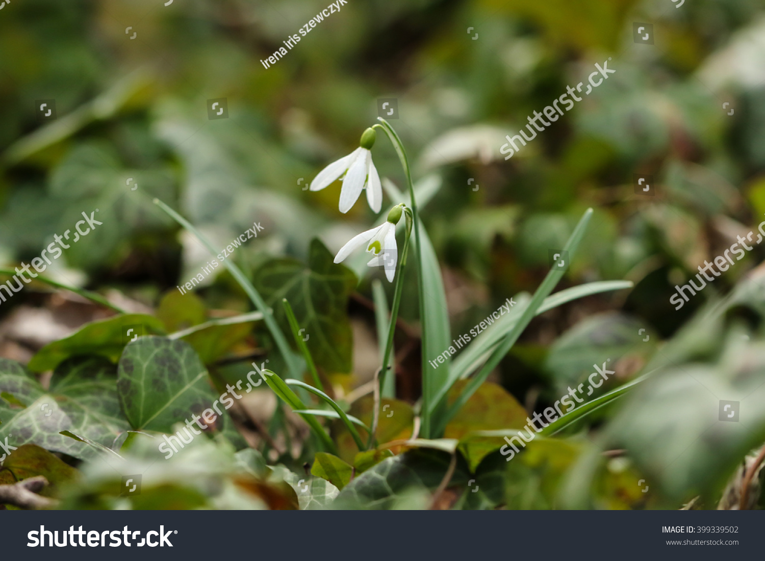White Tiny Flowers Among Ivy Leaves Stock Photo Royalty Free