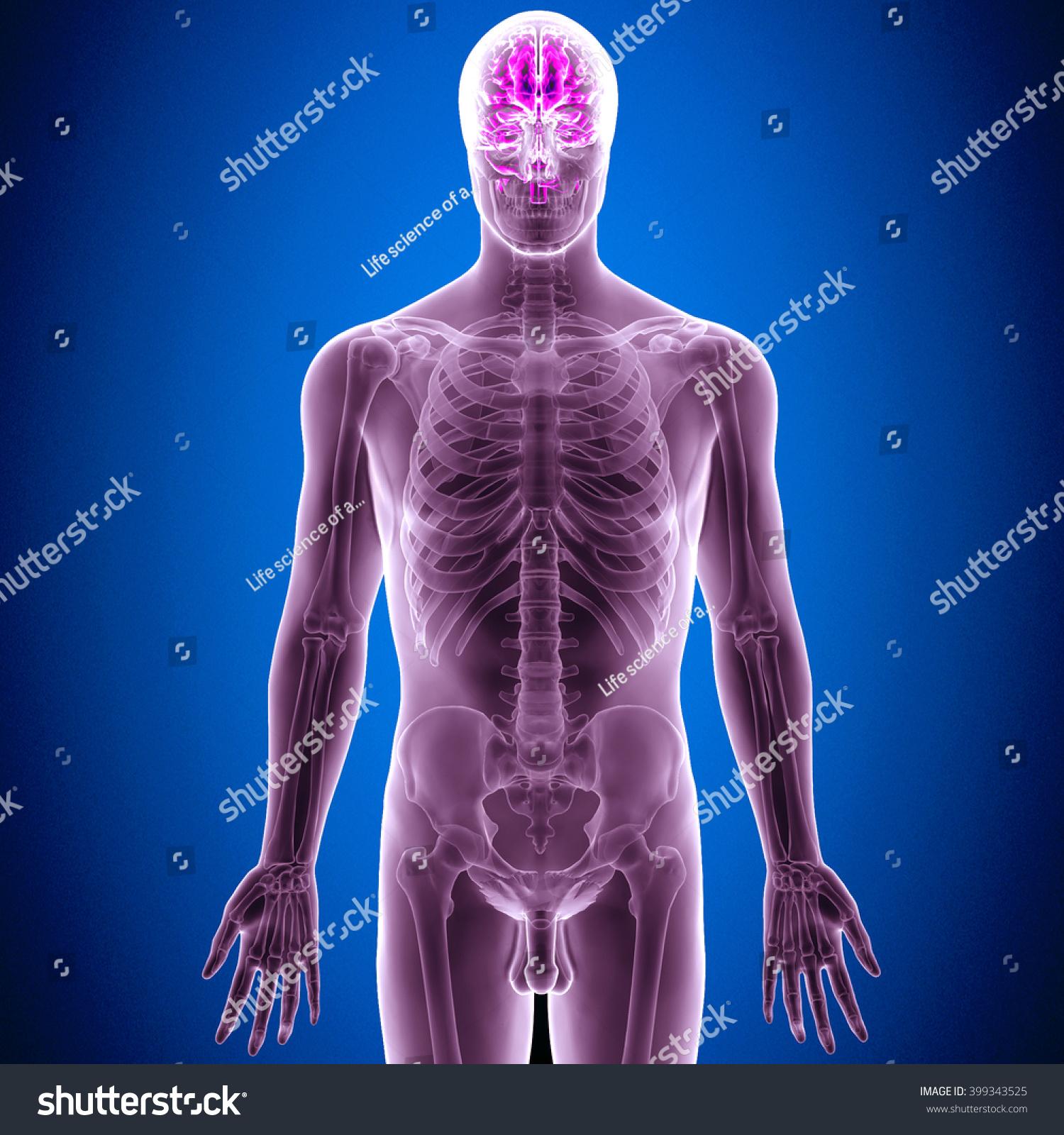 3d Illustration Human Anatomy Brian Stock Illustration 399343525