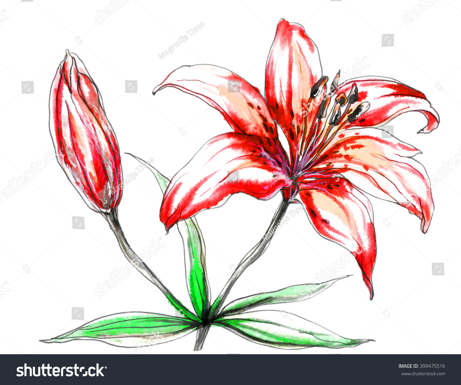 Red tiger lily flower blossom hand stock illustration 399475516 red tiger lily flower blossom hand drawn watercolor tropical flowers isolated on white background izmirmasajfo Images