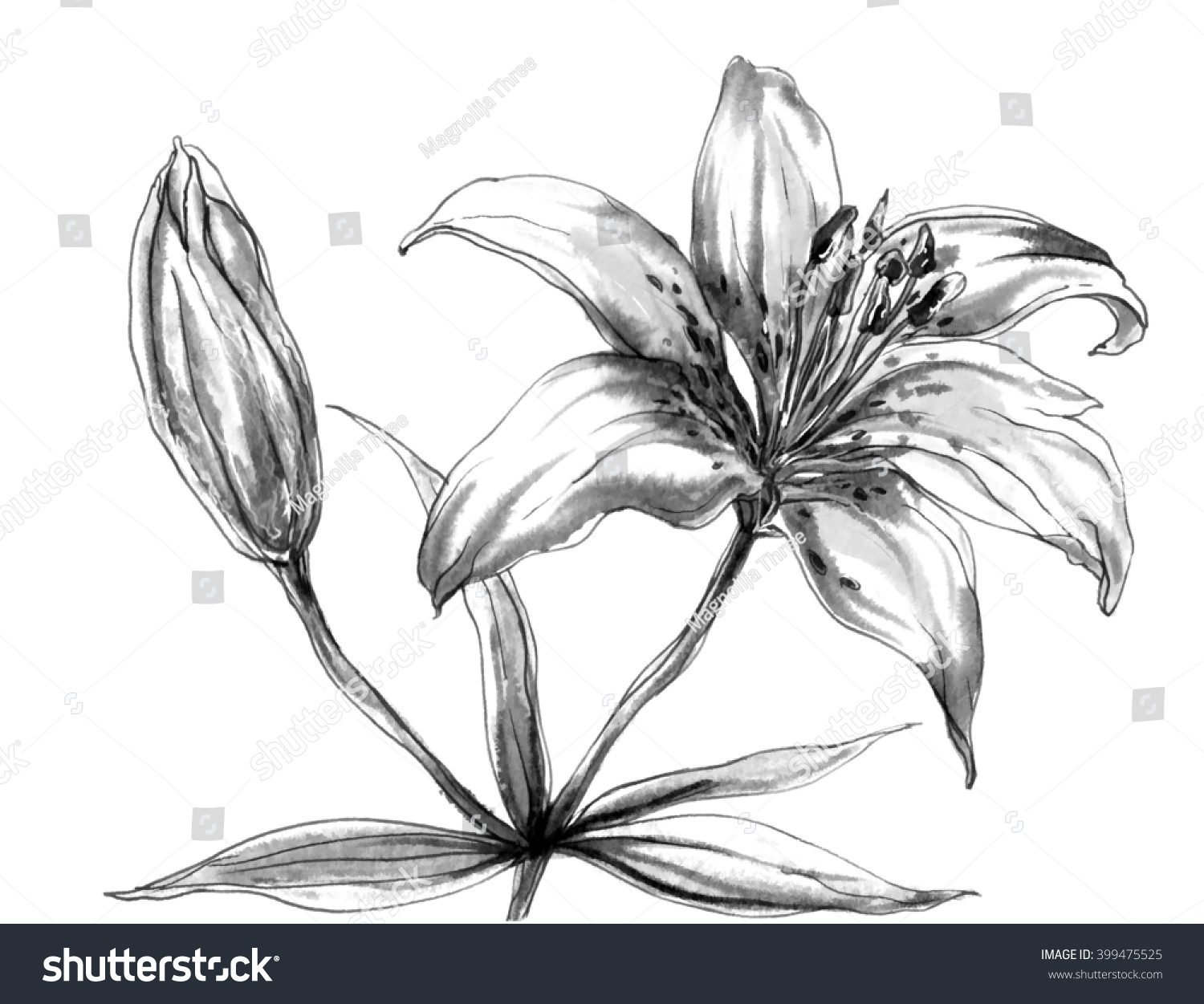 Decorative Tiger Lily Flower Blossom Isolated Stock Illustration ...
