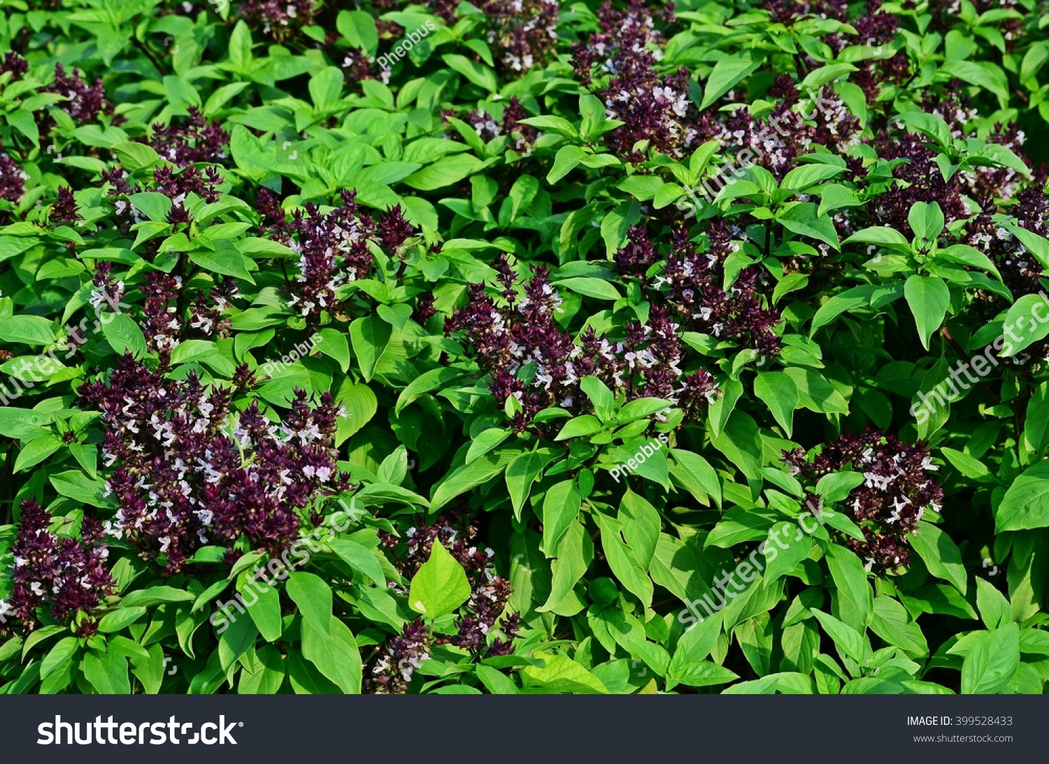 thai holy basil soil agriculture edible stock photo 399528433