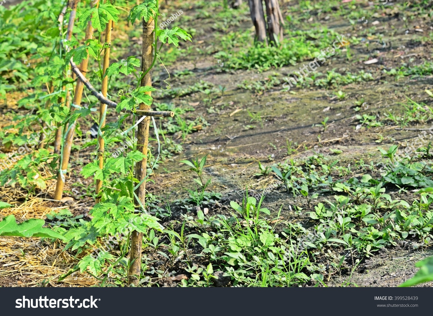sponge gourd soil agriculture edible plant stock photo 399528439