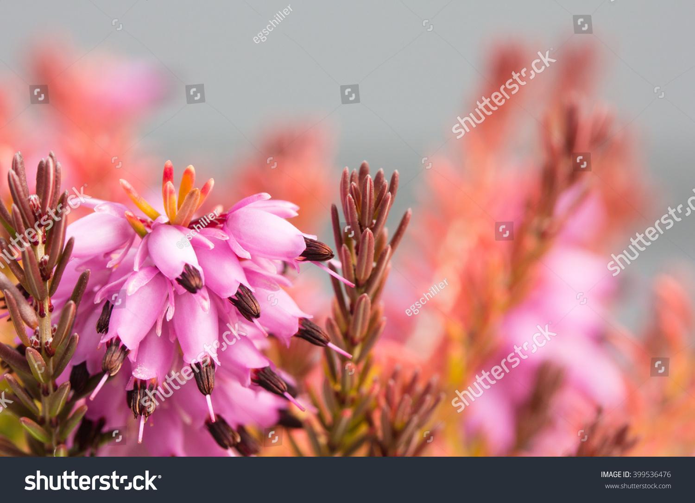 Macro Of Erica X Darleyensis Mary Helen A Heath Flowering In Late