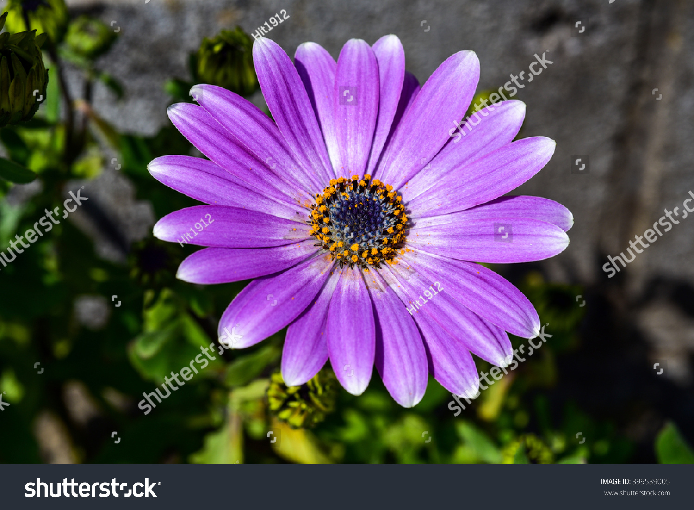 White And Purple Daisy Ez Canvas