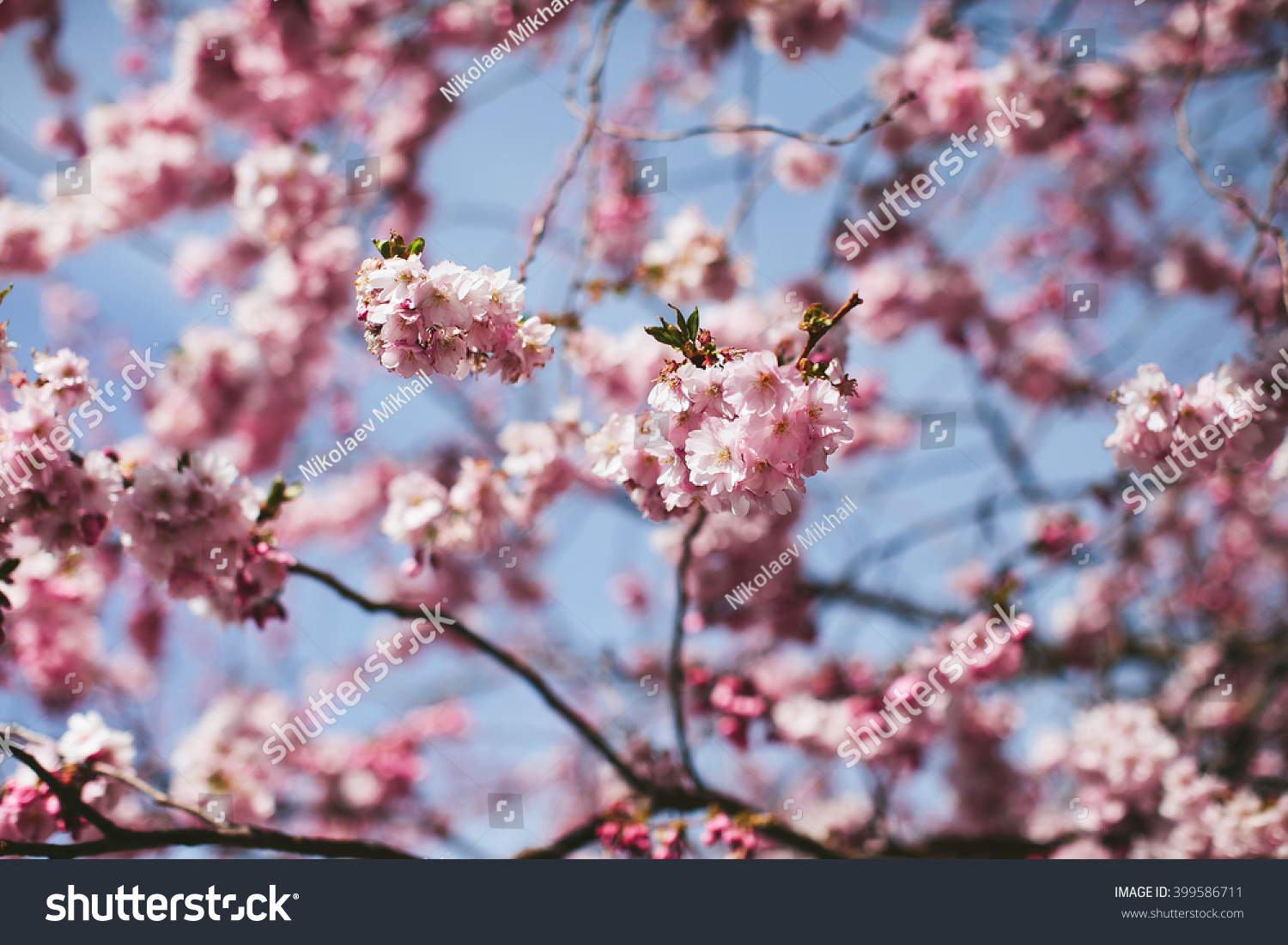 Pink Flowers On The Branches Of Apple Trees Ez Canvas