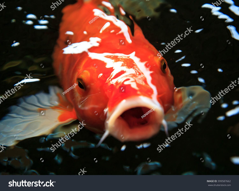 Beautiful koi fish swimming pond stock photo 399587662 for Beautiful koi fish