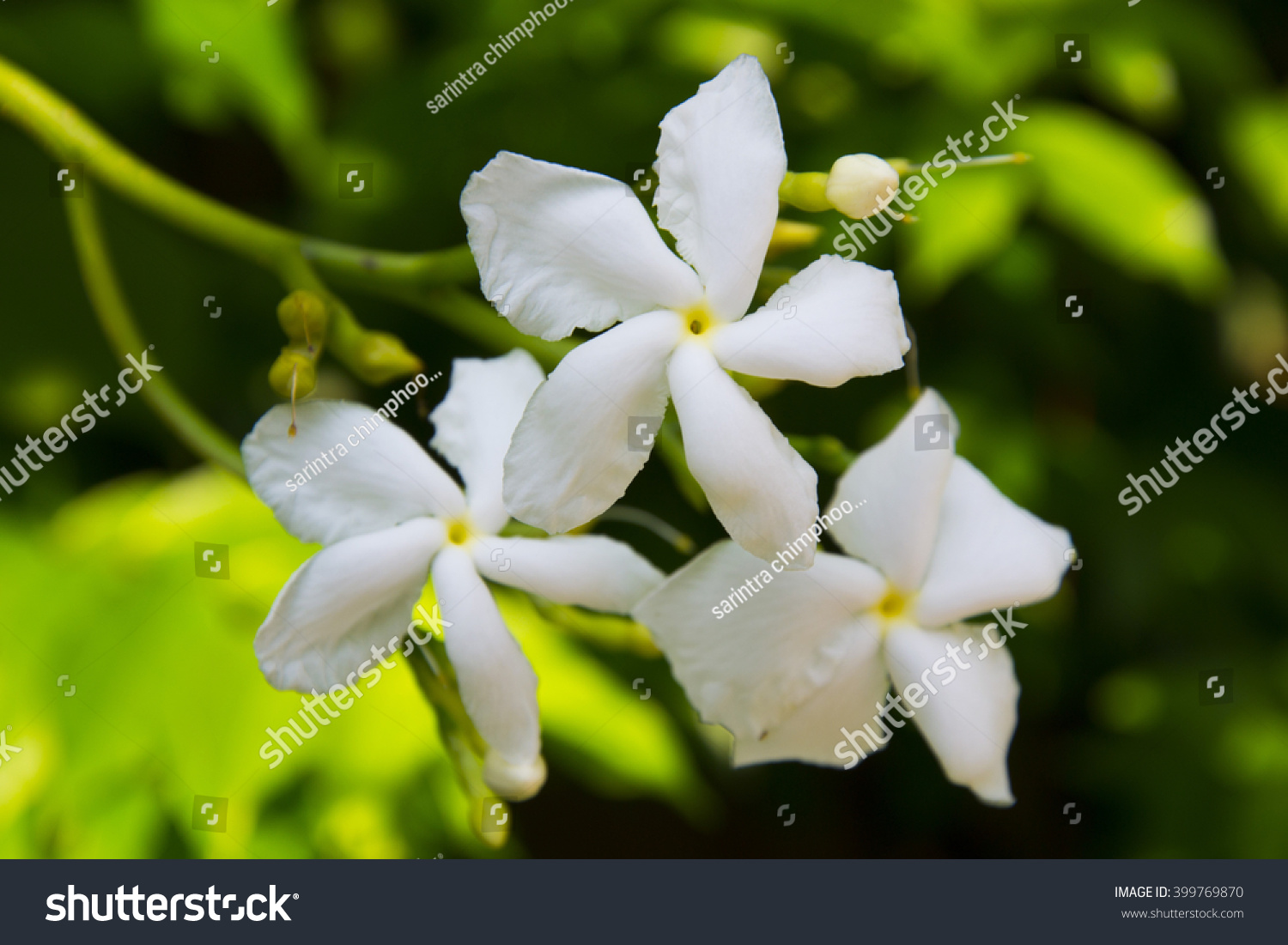 White Gardenia Flower Meaning Images Fresh Lotus Flowers