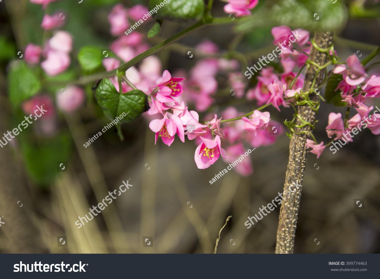 Mexican Creeper Coral Vine Honolulu Creeperchain Of Love Pink