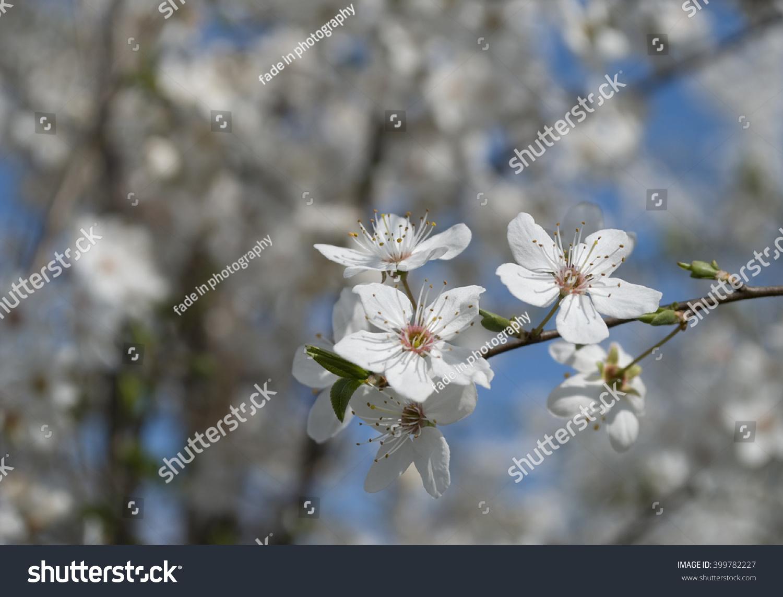 Sakura White Flowers Tree Early Spring Stock Photo Edit Now