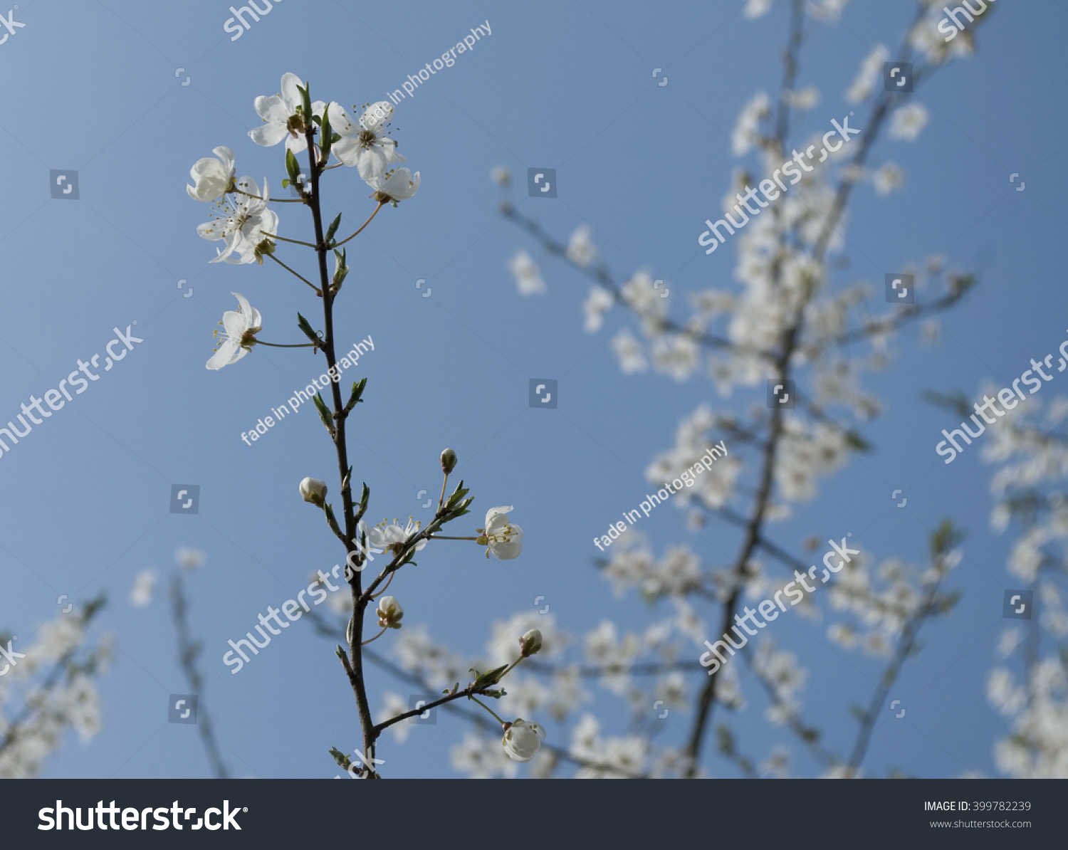 Sakura White Flowers Tree Early Spring Stock Photo 100 Legal