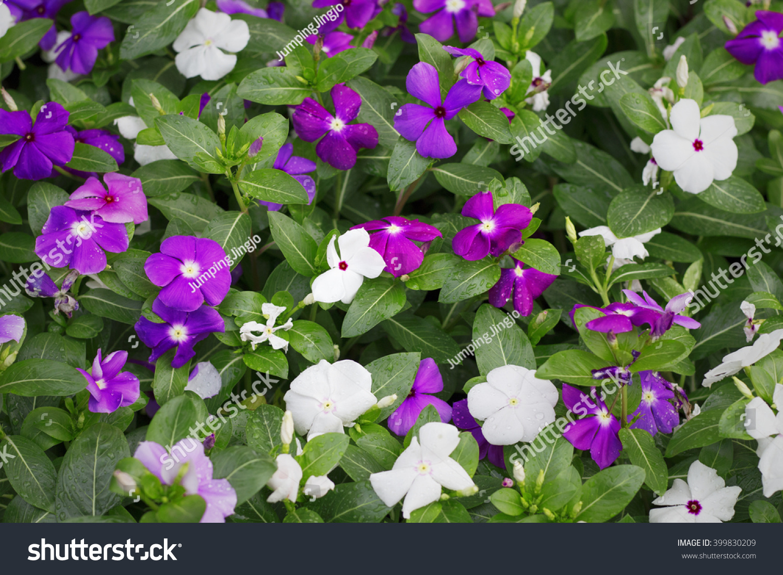 Flowers wallpaper blooming flowers beautiful vinca stock photo edit flowers wallpaper blooming flowers beautiful vinca flowers in many colors purple red mightylinksfo