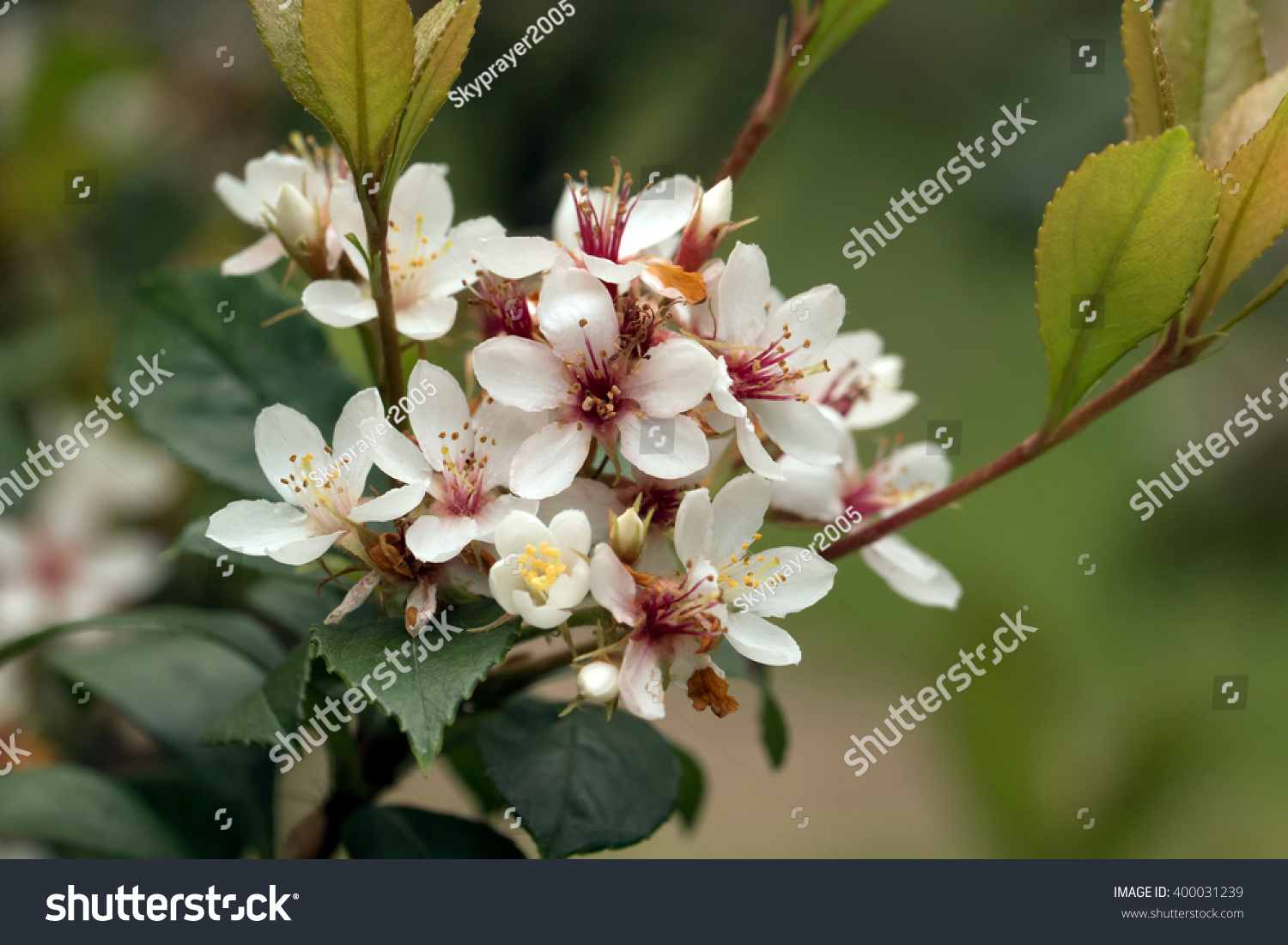 Tashiro Indian Hawthorns White Flowers Blooming Rhaphiolepis Stock