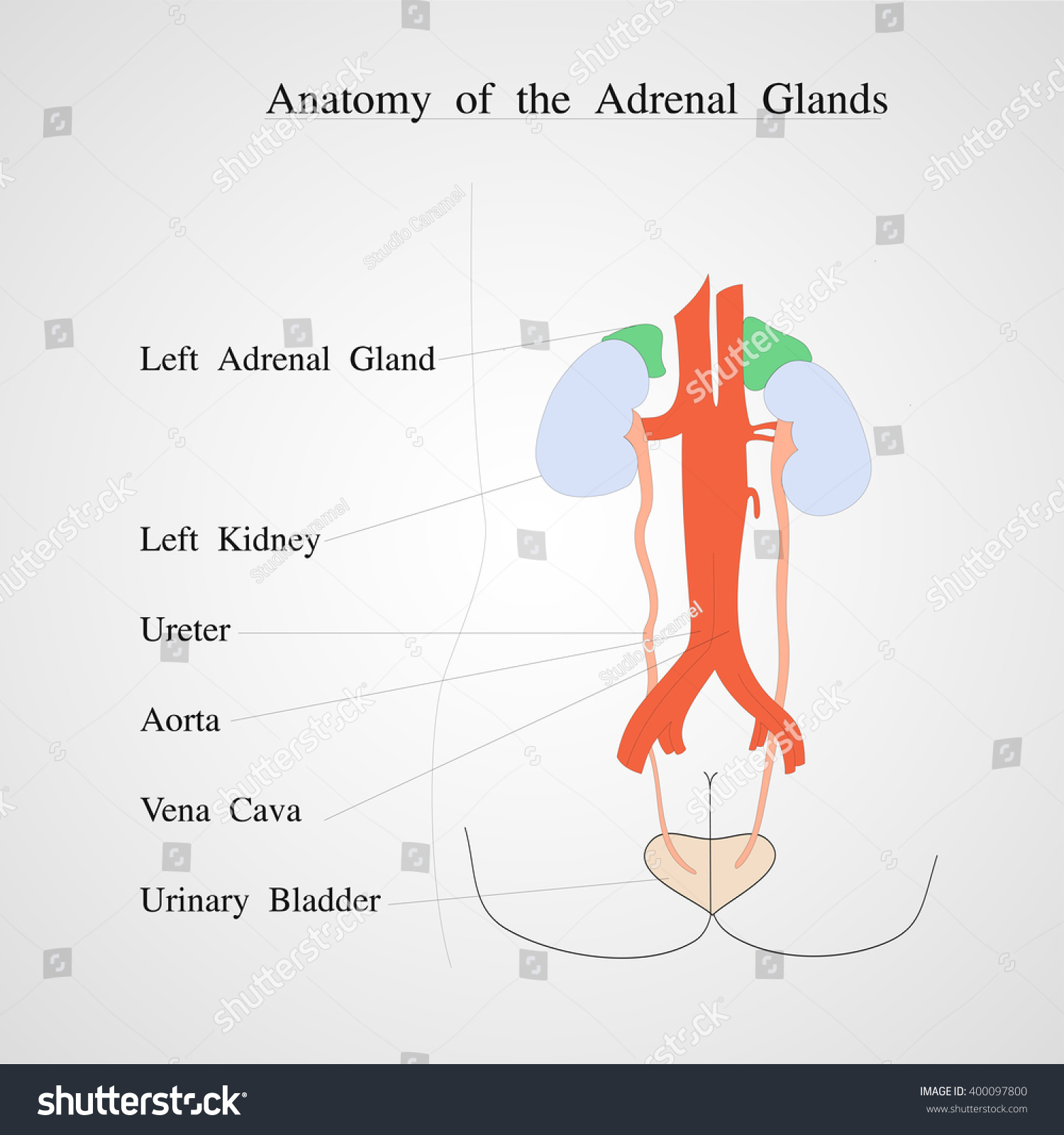 Anatomy Adrenal Gland Kidney Renal Vein Stock Vector 400097800 ...