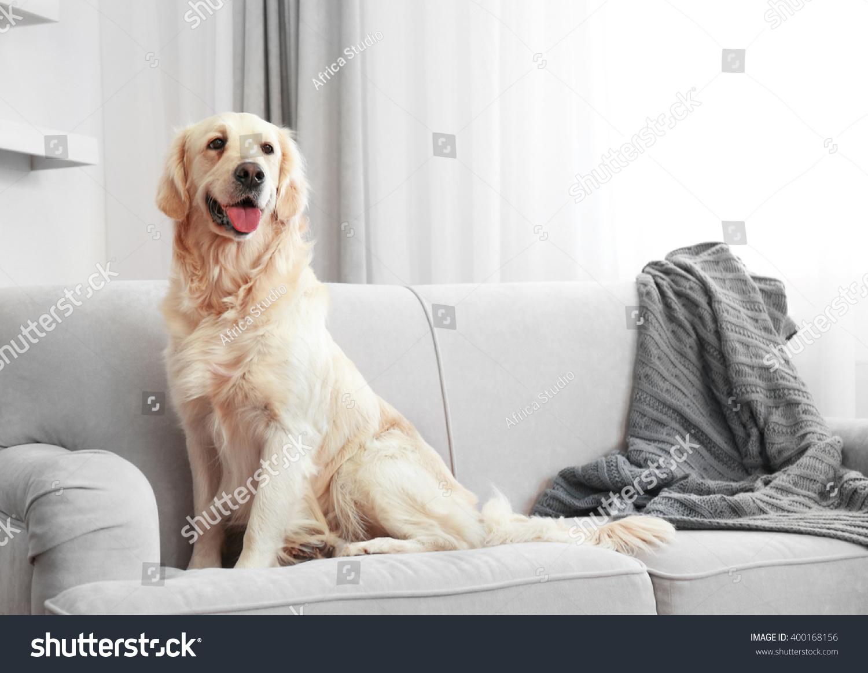 Golden Retriever Sitting On Sofa Home Stock Photo Edit Now