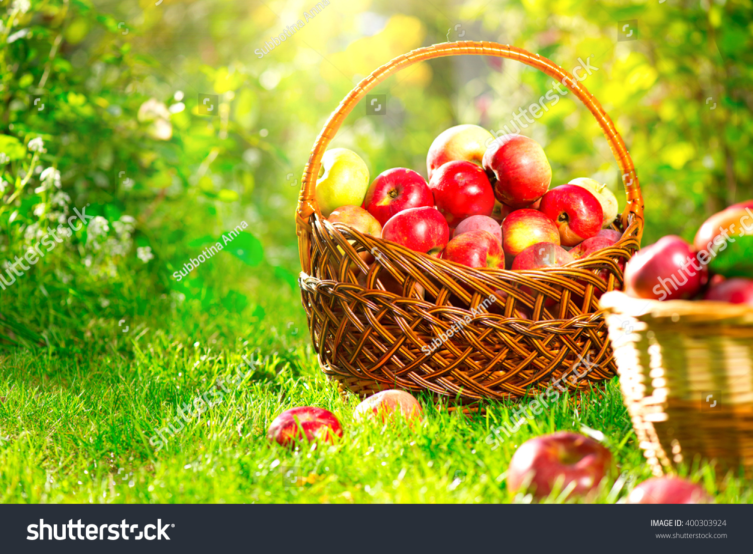 green and red apples in basket. organic apples in a basket outdoor. orchard. autumn garden. harvest season concept. green and red
